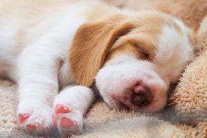 A little Beagle puppy is sleeping